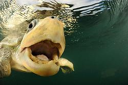 Many female olive ridley sea turtles (Lepidochelys olivacea) are swimming from the open ocean towards the beach of Ostional, Costa Rica, Pacific Ocean to gather for  an arribada (mass nesting event). They are not very shy and curiously probe the photographer's equipment. They feed on a broad selection of floating organism - and unfortunately may as well bite into or even swallow plastic depris or fishing hooks. [size of single organism: 80 cm]   Schwimmende Oliv-Bastardschildkröten (Lepidochelys olivacea) sind nicht sehr scheu und nähern sich neugierig unbekannten Objekten. Offenbar sind sie in Bezug auf Nahrung durchaus experimentierfreudig. Das daraus resultierende breite Beutespektrum mag ihnen zugute kommen – fataler Weise führt es aber auch dazu, dass sie große Mengen an Plastikmüll oder auch Angelköder mit Haken verschlucken und häufig daran zu Grunde gehen. (Costa Rica)