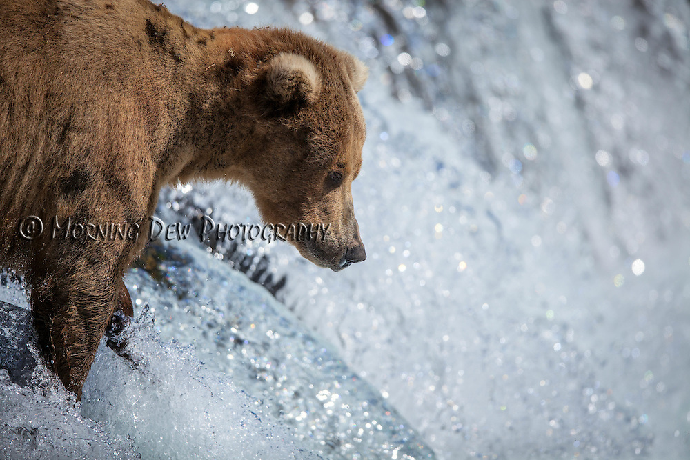 An Alaskan brown bear fishes for salmon in Brooks Falls, Katmai National Park