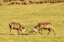 Two young stags rutting near Tarbert Bay on the Isle of Jura
