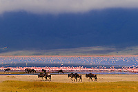 Blue Wildebeest with Lake Magadi behind (covered in flamingos), Ngorongoro Crater, Ngorongoro Conservation Area, Tanzania