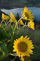 Balsamroot wildflowers at Rowena Crest, Columbia River Gorge National Scenic Area, Oregon