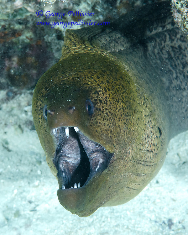 A Giant Moray Eel (Gymnothorax Javanicus) in Moorea, French Polynesia.