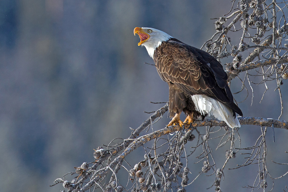 A bald eagle calls to its mate from a high perch along the Shoshone River. Like many raptors, bald eagles mate for life, but when one dies, the survivor will not hesitate to accept a new mate.