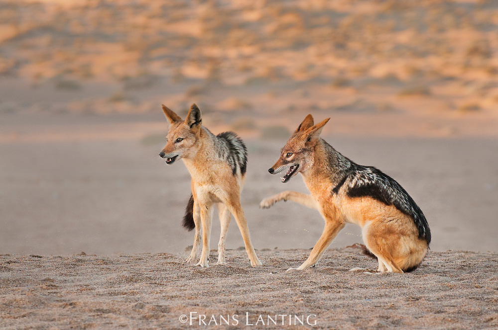 Black-backed jackal couple, Canis mesomelas, Sperrgebiet National Park, Namibia