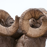 two trophy rams profile, close up of horns wild rocky mountain big horn sheep