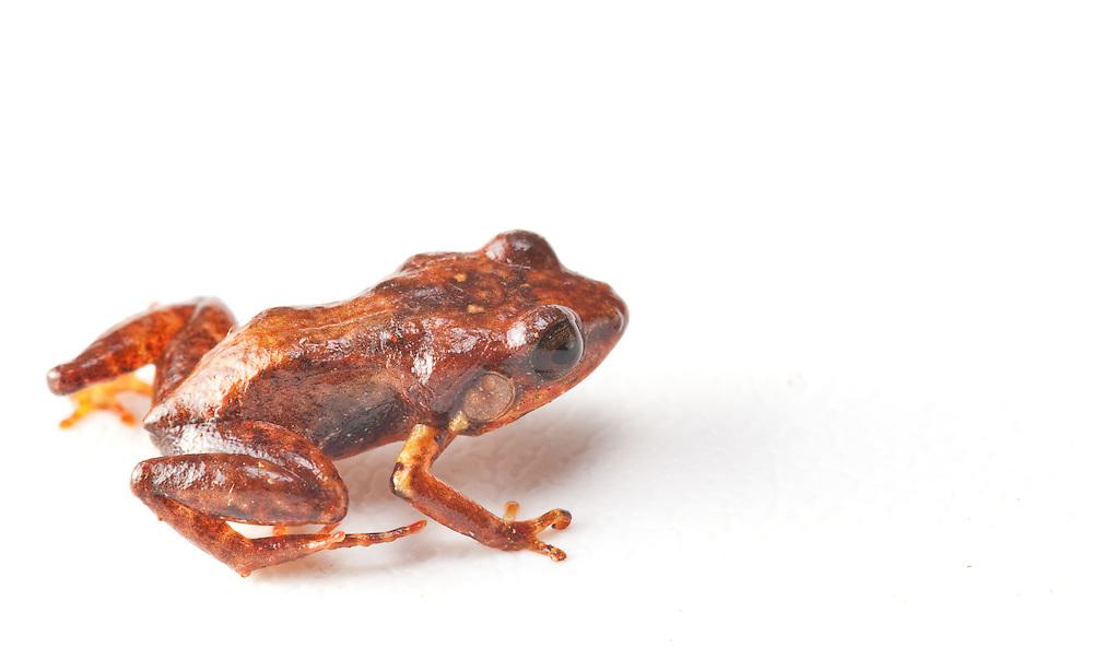 Macaya Breast-spot Frog, Eleutherodactylus thorectes, a critically endangered species in the Massif de la Hotte, Haiti. Last seen 1991.