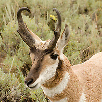 A Pronghorn Antelope in Yellowstone National Park.