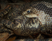 Hog-nosed snake popping  the air out of a southern toad with a built in tooth (fang) inside is jaw.  The toad inflated as a defense mechanism,