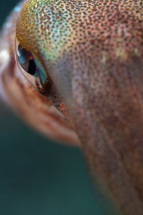 """Bronze Medal, Macro Close-up Category, UnderwaterPhotography.com 2015 Annual Awards<br /> <br /> Honorable Mention, Professional Macro category, Lions & Legends Grand Cayman Underwater Photo Contest 2015 <br /> <br /> """"Eye Of The Squid"""". No crop. This amazing Caribbean reef squid hung around for about ten minutes. With patience and slow movements I was able to approach very closely to it. At times it seemed intrigued with its reflection in my macro lens port."""