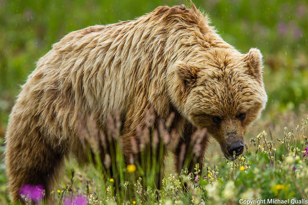 North America, Canada, Yukon Territory, Destruction Bay.  Grizzlie Bear (Arctos Horribilis) Grazing on Plants alongside the Alaska Highway