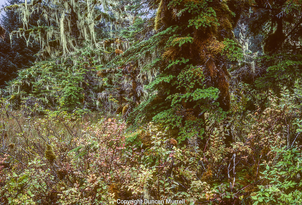 Although the temperate rain forest of Southeast Alaska is evergreen there is never any shortage of beautiful autumnal colours in the understory vegetation such as the blueberry bushes and the sphagnum moss and miniature plants of the muskeg.