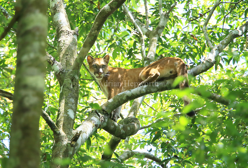 Wild puma (puma concolor) climbing in a tree. Sirena, Corcovado National Park, Osa, Costa Rica. <br />