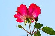 Flowering pink and yellow cocktail rose in an urban garden on blue sky background