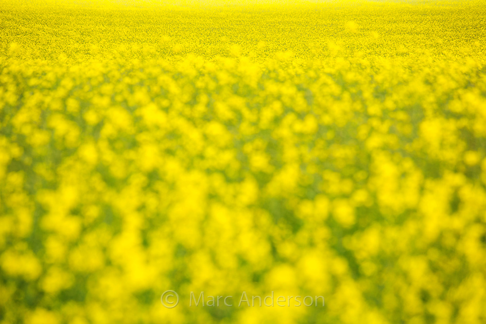 Field of yellow rapeseed plants (Brassica napus) for production of canola oil, NSW, Australia