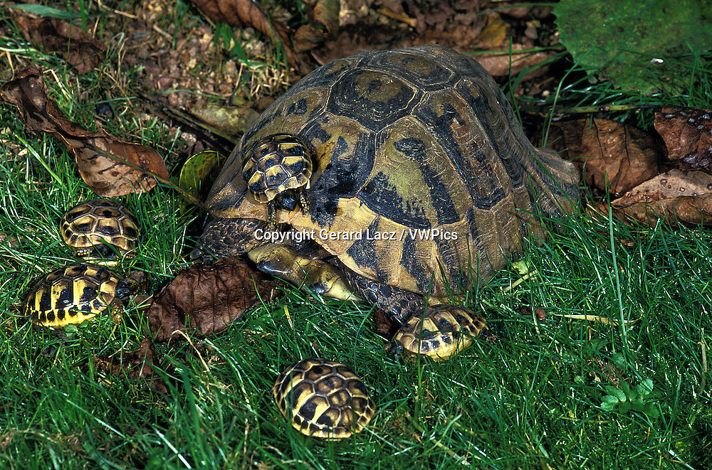 Hermann's Tortoise, testudo hermanni, Female with Youngs