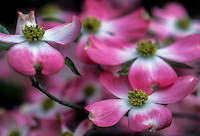 Pink dogwood bloom 3