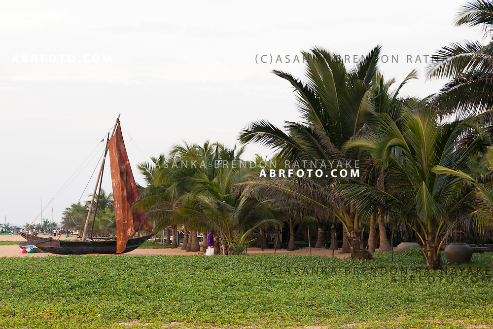 A row of Palm trees and sand of Negombo beach as an old traditional Sri Lankan fishing boat is docked on the sand..Negombo is a major city in Sri Lanka, located on the west coast of the island and at the mouth of the Negombo Lagoon