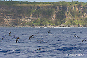 brown noddy terns, Anous stolidus,  mark a school of fish, Vava'u, Kingdom of Tonga, South Pacific