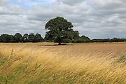 Single large oak tree standing in field in Suffolk Sandlings countryside, Alderton, Suffolk, England,UK