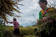 A Hmong family works together during the rice harvest season in Hau Thao, Lao Cai Province, Vietnam, Southeast Asia