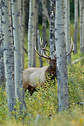 Bull elk in fall rut