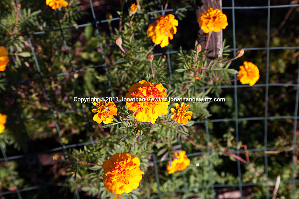 Blooming marigold flowers in a community garden. WATERMARKS WILL NOT APPEAR ON PRINTS OR LICENSED IMAGES.