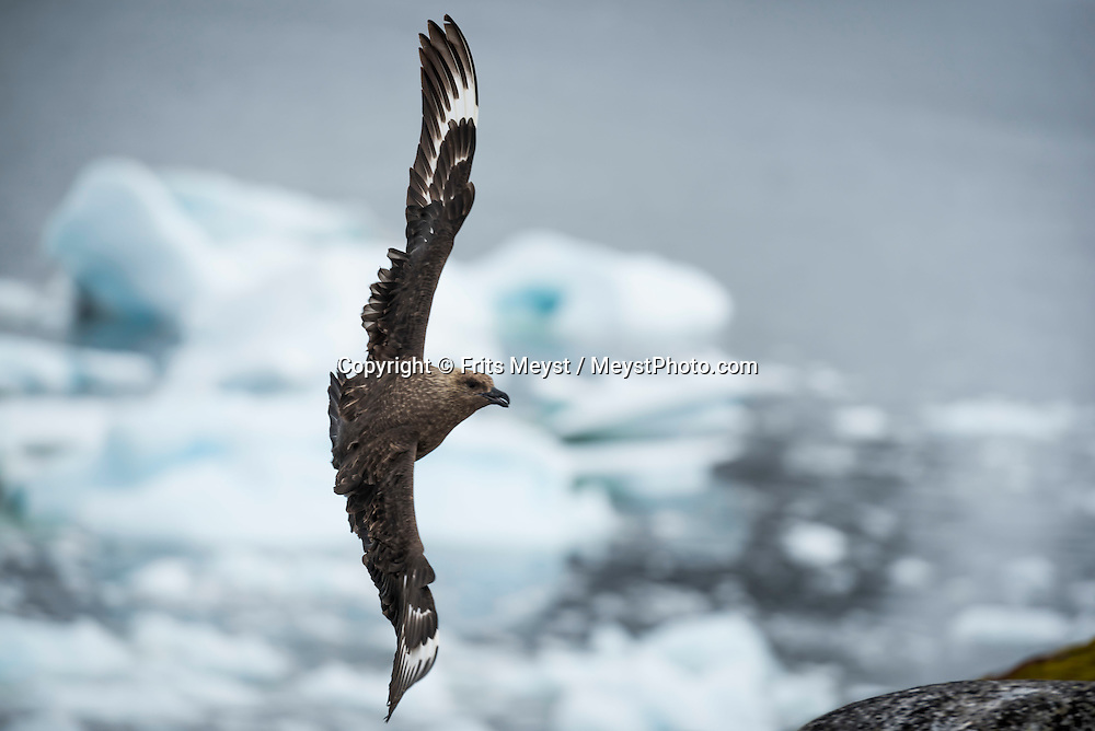 Antarctica, February 2016. South Polar Skua protect their nests during our first landing at an unnamed island in the Berthelot island group. Dutch Tallship, Bark Europa, explores Antarctica during a 25 day sailing expedition. Photo by Frits Meyst / MeystPhoto.com
