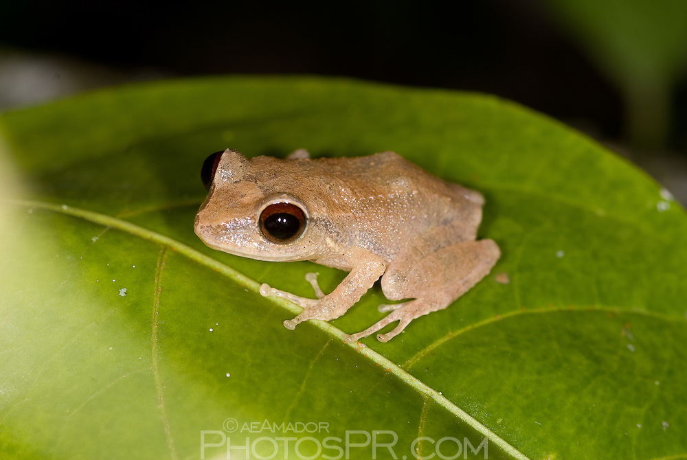 """The tiny coquí (ko-kee) frog """"eleutherodactylus coqui"""" is unique to the island of Puerto Rico and serenades de tropical nights with its distinctive chime."""