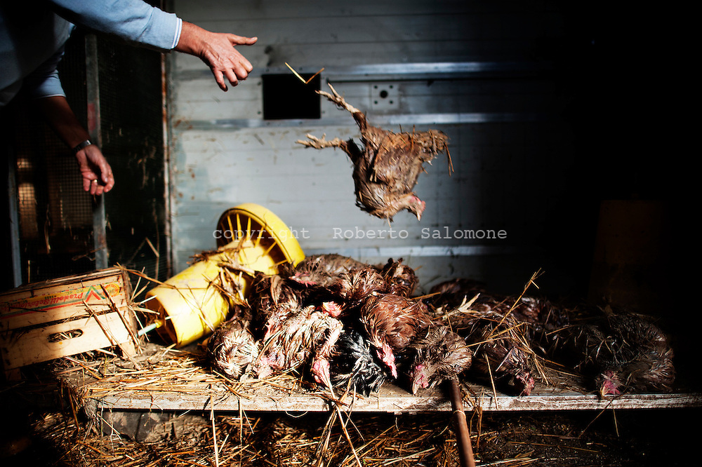 ITALY, Gromola : A man counts his dead chicken after a flooding hit his house on November 11, 2010. The flloding caused severe damages to the agricolture and buildings in the towns of gromola, Capaccio and Capaccio Scalo. AFP PHOTO / ROBERTO SALOMONE