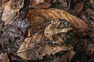 Camoflauged Horned frog (Ceratophrys cornuta) from the Iwokrama rainforest in Guyana.