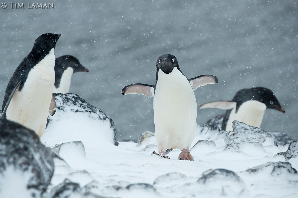 Unfased by the weather, Adelie Penguins trek up the hill toward their nest sites on Paulette Island, Antarctica.