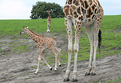 Nine-day-old (left) and five-week-old (centre) Rothschild's giraffe calves explore their enclosure at West Midlands Safari Park in Bewdley, Worcestershire.