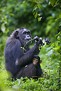 Chimpanzee <br /> Pan troglodytes<br /> Mother with 3 month old infant feeding on medicinal plant<br /> Tropical forest, Western Uganda