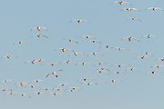 Snow Geese, Chen caerulescens, Ross's Geese, Chen rossii, Bosque del Apache NWR, New Mexico