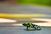 Green and black poison dart from at Lapa Rios Ecolodge, Osa Peninsula, Costa Rica