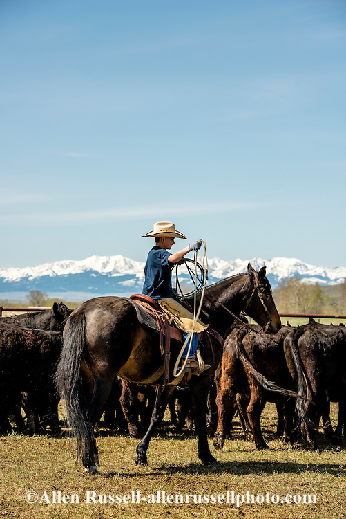 Cowboys, kids, Rodie Keyes, dragging calves to the fire, branding, Lazy SR Ranch, Wilsall, Montana
