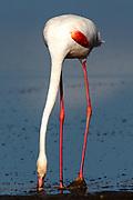 Greater Flamingo (or Rosy Flamingo) Phoenicopterus ruber, Phoenicopterus roseus, Större Flamingo, feeding in Lake Ndutu in morning light, Serengeti.