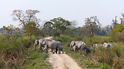 Scenery from Kaziranga NP, Assam. Wild Indian elephants crossing a road in the famous national park.