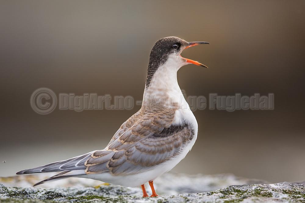 Screaming Tern  | Skrikende Terne