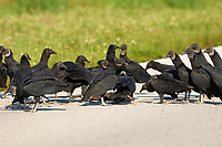 Black Vulture (Coragyps atratus), Meritt Island, Florida, USA. Feeding on road killed carcass    Photo: Peter Llewellyn