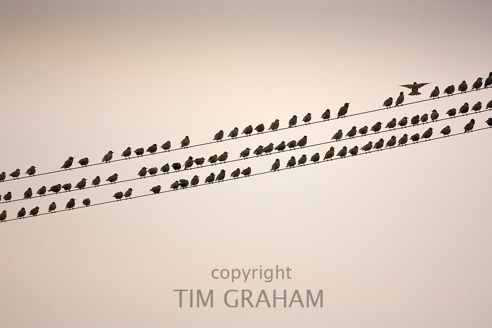 Migratory Starlings on telephone wires atThames Estuary. Avian Flu (Bird Flu) could be brought to Britain from Europe by migrating birds.