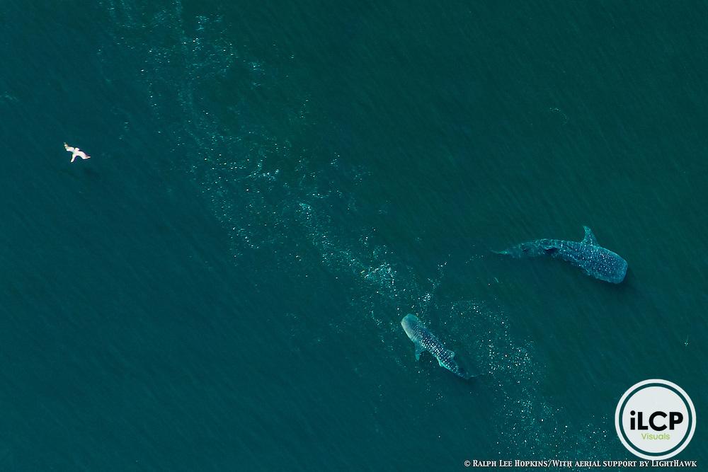 Aerial Photo. Whale Sharks (Rhincodon typus), Feeding, Pelican,, Bahia de los Angeles, Sea of Cortez, Gulf of California, After Hurricane Odile, Baja California, Mexico
