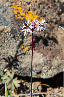 Confined to Western North America, the bulbiferous prairie star is an interesting member of the Saxifrage family with peculiar spiky petals. This one was found on the exposed hilltops above the sagebrush canyon lands just west of Yakima, Washington.