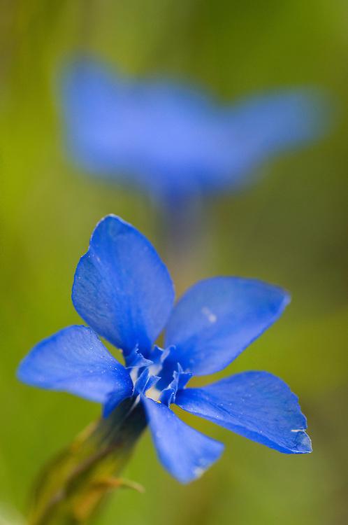 Spring gentian flower, Gentiana verna, near Malbun, Lichtenstein