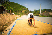13 MARCH 2013 - ALONG HIGHWAY 13, LAOS: A woman lays out rice to dry along the side of Highway 3, the main road through northern Laos from Highway 13 to the Thai border. The paving of Highway 13 from Vientiane to near the Chinese border has changed the way of life in rural Laos. Villagers near Luang Prabang used to have to take unreliable boats that took three hours round trip to get from the homes to the tourist center of Luang Prabang, now they take a 40 minute round trip bus ride. North of Luang Prabang, paving the highway has been an opportunity for China to use Laos as a transshipping point. Chinese merchandise now goes through Laos to Thailand where it's put on Thai trains and taken to the deep water port east of Bangkok. The Chinese have also expanded their economic empire into Laos. Chinese hotels and businesses are common in northern Laos and in some cities, like Oudomxay, are now up to 40% percent. As the roads are paved, more people move away from their traditional homes in the mountains of Laos and crowd the side of the road living off tourists' and truck drivers.    PHOTO BY JACK KURTZ