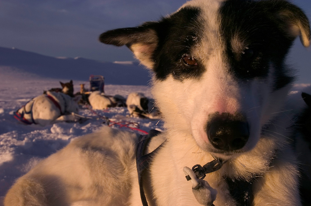 One of the dogs during a dog sledding tour with The Silent way, Vindelfjallen National Park, Vasterbotten, Lapland, Sweden. Ecotourism