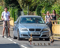 © Licensed to London News Pictures. 10/04/2020. London, UK. Cars and cyclist stop for a family of geese which decided to walk down a main road in Wandsworth. A family of Egyptian geese including six chicks caused a bit of a stir in Wandsworth in South London, as they went on a Easter Sunday walk. But their derring escape from nearby Richmond Park possibly breaking lockdown rules was unfortunately foiled by passers-by who tried to help them return to the park and away from the main roads. Photo credit: Alex Lentati/LNP