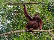 Big, male orangutan in the canopy of the raiforest in Danum Valley, Sabah, Borneo.