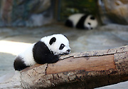 FOSHAN, CHINA - DECEMBER 09: (CHINA OUT) <br /> <br /> World's Only Alive Panda Triplets Start Living Together With Their Mother<br /> <br /> Giant panda Juxiao plays with her cub, one of the world's only alive panda triplets at Chimelong Safari Park on December 9, 2014 in Guangzhou, China. The world\'s only alive giant panda triplets (two boys and one girl) started living together with their mother giant panda Juxiao after taking turns living with her since their birth at the Chimelong Safari Park on Tuesday. The triplets were born on July 29 and after over 100 days they now all weigh over 8 kg and are doing well. They will stay with their mother and meet with visitors at 13:00-15:00 and 16:00 - 18:00 from Tuesday.<br /> ©Exclusivepix Media