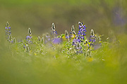 Selective focus on a cluster of Blue lupin (Lupinus pilosus) Photographed in israel in February